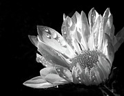 Jennie Marie Schell - Raindrops on Daisy Black and White