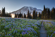 Mount Rainier Framed Prints - Rainier Evening Lupine Fields Framed Print by Mike Reid