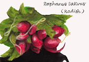 Great Pastels - Raphanus Sativus by Samantha Roberts