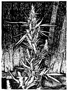 Kush Drawings - Ready for Harvest by Joseph Juvenal