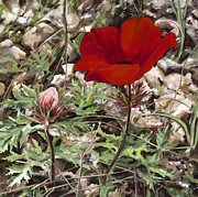 Close Up Painting Metal Prints - Red Anemone  Metal Print by Nurit Shany