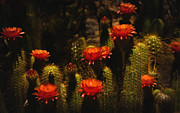 Saija  Lehtonen - Red Cactus Flowers