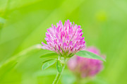 Angiosperms Art - Red Clover by Rich Leighton
