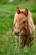 Jenny Rainbow - Red Foal. Beautiful Eyes