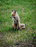 Wild Dog Prints - Red Fox Portrait Print by Robert Bales