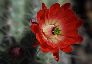 Saija  Lehtonen - Red Hedgehog Flower