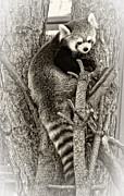 Steve Harrington - Red Panda 2 sepia