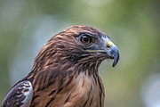 John Haldane Prints - Red Tail Hawk Print by John Haldane