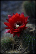 Saija  Lehtonen - Red Torch Cactus Flower