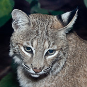 Nature Center Paintings - Reflective Bobcat by John Haldane