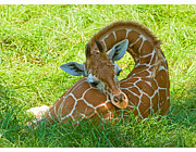Millard H Sharp and Photo Researchers - Reticulated Giraffe 6 Week Old Calf...