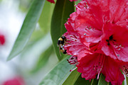 Frank Tschakert - Rhododendron With Bumblebee