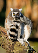 Ring-tailed Lemur Photos - Ring Tailed Lemur by Millard H. Sharp