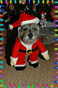 Border Terrier Digital Art Posters - Rocky Claus Poster by Digital Designs By Dee