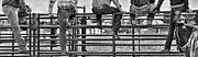 Rodeos Digital Art Posters - Rodeo Fence Sitters- Black and White Poster by Priscilla Burgers