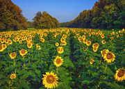 Larry Helms - Rows of Sunflowers
