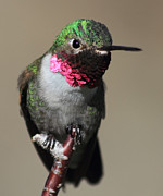 Dana Bechler - Ruby-Throated Hummer