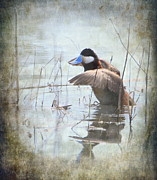 Stretching Wings Posters - Ruddy Duck Poster by Angie Vogel