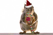 Candy Digital Art - Santa Squirrel and Candy Cane by Peggy Collins