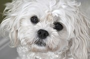 Maltese Dog Posters - Sassy Maltese Poster by Lisa  DiFruscio