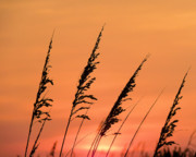JC Findley - Sea Oat Sunset
