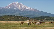 Mount Shasta Photos - Shasta Horses by Loree Johnson