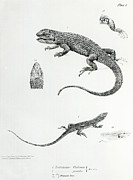 Pen And Ink Drawing Prints - Shingled Iguana Print by English School