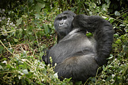 Ape Photo Originals - Silverback Mountain Gorilla by Juergen Ritterbach