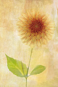 Perfect Photos - Single Yellow Dahlia by Rebecca Cozart