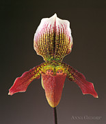 Fine Art Flower Photography Posters - Slipper Orchid Poster by Anne Geddes