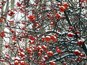 Will Borden Framed Prints - Snow- Capped Mountain Ash Berries Framed Print by Will Borden