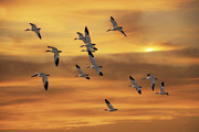Birds In Snow Posters - Snow Geese Of Autumn Poster by Tom York