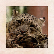 Snow Leopards Prints - Snow Leopard 17 Print by Ernie Echols