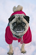 Pug Dogs Prints - Snow Pug Print by Kristine Gates