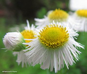 Aster  Originals - Snowey White Aster by Trisha Pierce
