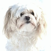 White Maltese Photos - Snowy Maltese by Lisa  DiFruscio