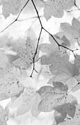 Jennie Marie Schell - Softness of Maple Leaves Monochrome