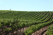 Grape Vines Photos - Sonoma Vineyards In The Sonoma California Wine Country 5D24588 by Wingsdomain Art and Photography
