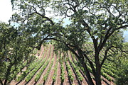 Vine Grapes Prints - Sonoma Vineyards In The Sonoma California Wine Country 5D24619 Print by Wingsdomain Art and Photography