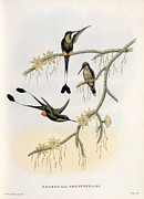 Humming Bird Framed Prints - Spathura Solstitialis Framed Print by John Gould