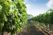 Grapevine Photo Originals - Spraying of vineyards by Deyan Georgiev