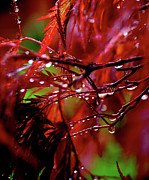Red Maple Posters - Spring Rain Poster by Rona Black
