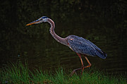 Beach Fence Digital Art Posters - Stalking Heron Poster by Michael Thomas