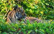 Zoo Tiger Posters - Sumatran Tiger Poster by Steve Harrington