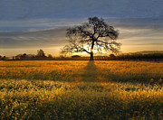 Wine Country. Prints - Sun Rise Oak in Yellow Mustard Print by Stan Angel