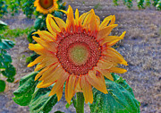 Blooming Digital Art - Sunflower in Wax by Janice Rae Pariza