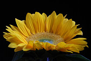 Floral Photographs Prints - Sunflower Print by Juergen Roth
