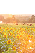 Buttonwood Farm Posters - Sunflower Sunset Poster by Bryan Bzdula