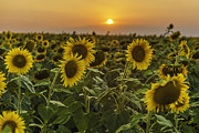 Sunflowers At Sunset Fine Art Print by Valerii Tkachenko