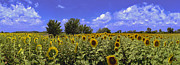 David  Zanzinger - Sunflowers Helianthus especially H....